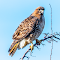 Red Tail Hawk a 09 03 18.jpg