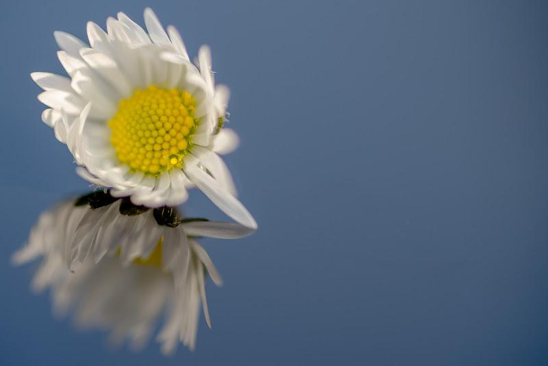 Daisy di thomas_gutschi