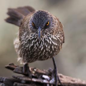 Arrow Marked Babbler's angry look by Shreyas Kumar - Animals Birds ( bird, babbler, south africa, pilanesberg, closeup,  )