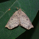 Moth - Olceclostera castra