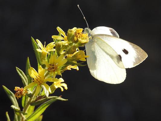 farfalla sul fiore di luciano55