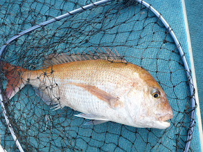 Photo: 本日一番の真鯛はオギノ先生。 3kgオーバーかな。