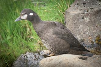 Photo: Harlequin Duck (Kragenente); Glanni, ISL