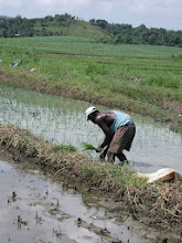 "Photo: Transplanting rice at the  ""Camilo Cienfuegos"" cane coop in Bahia Honda, Pinar del Río."