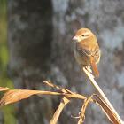 Brown Shrike (juvenile)