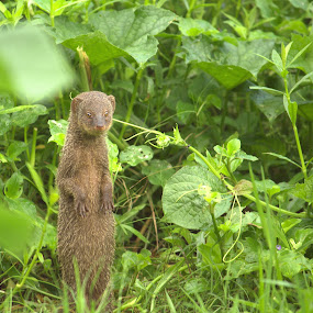 Mongoose - Welcomes my visit by Kisor Mukhopadhyay - Animals Other Mammals ( suru nair, prabir kumar nath pandit, mahuya mukhopadhyay, sumon ghosh, lipi choudhudi )