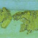 Pipe Organ Mud Dauber Wasp Nest