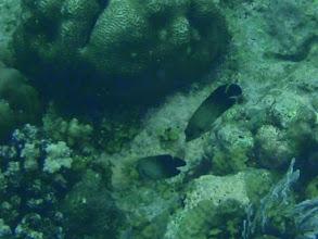 Photo: Centropyge vroliki (Half Black Angelfish), Siquijor Island, Philippines