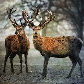 Brothers by CLINT HUDSON - Animals Other ( red deer, stag )