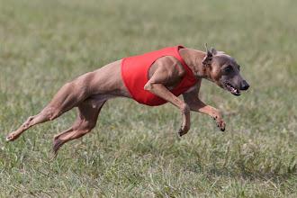 Photo: Coursing, Spitzerberg, italienisches Windspiel