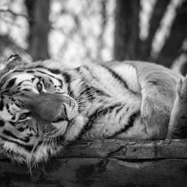 tiger by Patrick Robert - Black & White Animals ( zoo de granby, tigre, tiger )