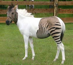 """Photo: Eclyse, das wunderschöne, weiße Zebra-Pferdchen mit den beiden großen """"Tigerflecken"""" – seit wenigen Tagen zu Hause im Zoo Safaripark Stukenbrock."""