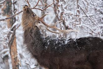 Photo: An Ezo Deer struggles through the harsh Hokkaido Winter in Shiretoko.