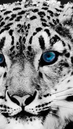 Wild cats.Live wallpaper