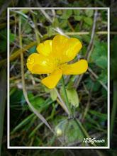 Photo: Renoncule des montagnes, Ranunculus montanus