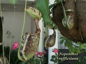 Photo: N. rafflesiana am Eingang in Colombo. / ... at the entrance in Colombo. Video image: S. Hartmeyer.