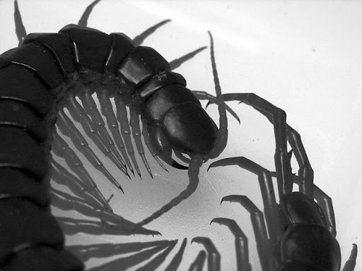 Giant centipede Wallpapers HD