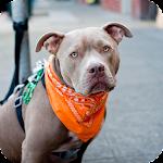 Pitbull Dog Pack 2 Wallpaper