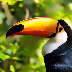 Toucan in the wild by Pravine Chester - Animals Birds ( bird, brazil, animals, nature, pantanal, toucan, toco tourcan, birds,  )