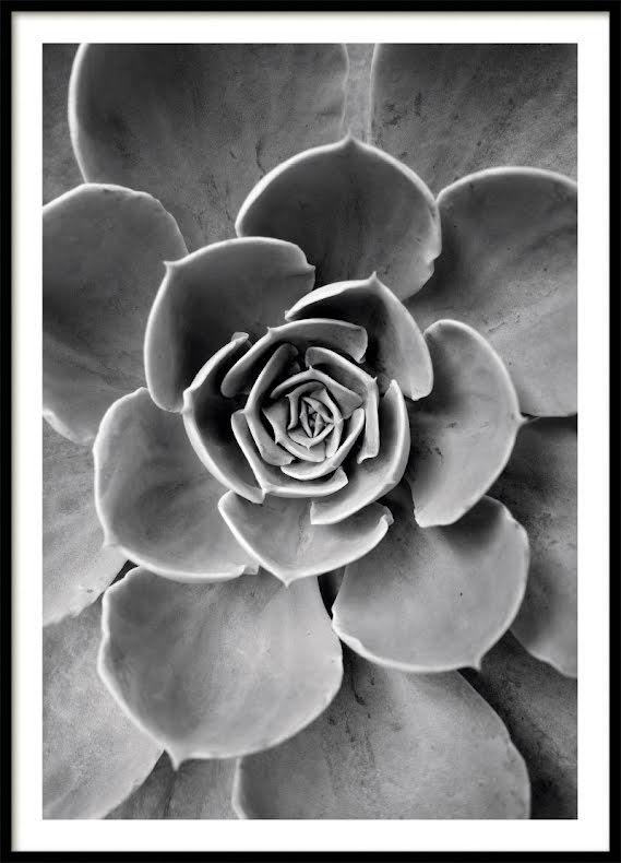 Kaktus Blomma Poster Bw