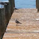 Gull-Bill tern