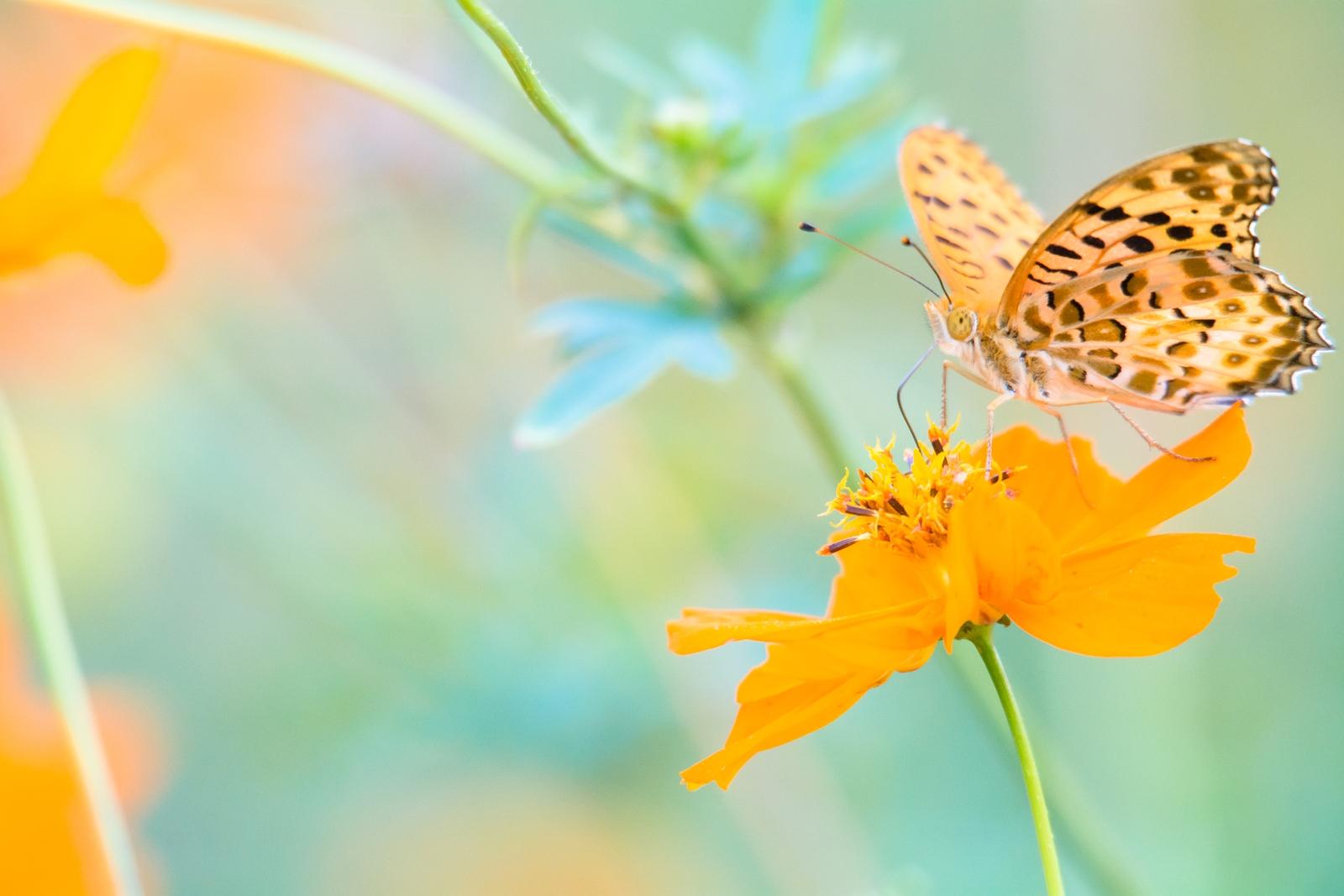 Photo: 初秋の黄色を感じて Feel the early autumn yellow.  秋の訪れを知らせる黄花 秋まで辿り着くことのできた蝶 ゆらゆらと心地良い風に吹かれながら 時折翅を羽ばたかせては 秋の花と舞いを踊る  Cosmos and fritillary. (キナバコスモスとヒョウモンチョウ) #insect #cooljapan #365cooljapanmay Nikon D7100 APO 50-500mm F4.5-6.3 DG OS HSM [ Day143, October 2nd ] (4枚追加:Added 4 photo)
