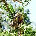Giant Lichen Orbweaver