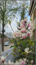 Photo: Magnolie (Magnolia) - vedere de pe Str. Tunel - 2018.04.13