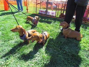 Photo: The Wiener Mania races are held by ArizonaAdoptaAGreyhound.org. Photo by Turf Paradise