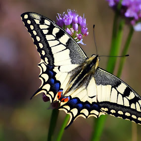 Papilio machaon by Damir Ipavec - Animals Insects & Spiders
