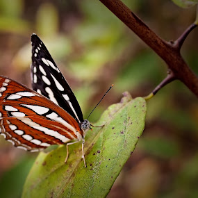 Delicate Touch by Mrigankamouli Bhattacharjee - Animals Insects & Spiders ( butterfly, sailerbutterfly, nymphalid, insect, neptishylas )