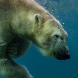 Polar Bear diving by Anita Meis - Animals Other Mammals ( polar, north pole, global warming, polar bear, white, rocks, mammal, snow, bear, ice, water )