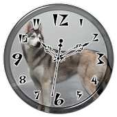 Husky Clock Live Wallpaper