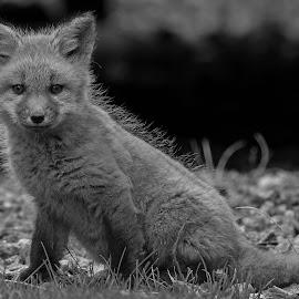 by Steven Liffmann - Black & White Animals ( carnivores, vulpes vulpes, red fox )