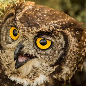 Eye of the owl! by Adriaan Vlok - Animals Birds ( owl eyes, owl, yellow owl eyes, yellow eyes )