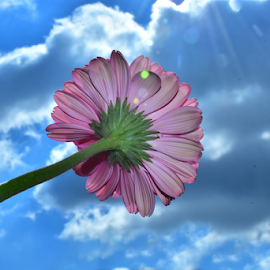 veri nice gerber by LADOCKi Elvira - Flowers Single Flower ( floral, nature, plants, garden, flower )
