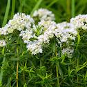 Virginia/common mountain-mint or narrowleaf mountainmint/slender mountainmint/common horsemint/Virginia thyme