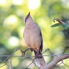 Chalk-browed Mockingbird (Sabiá-do-campo)