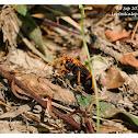 Leptodialepis bipartitus 黃頭蛛蜂