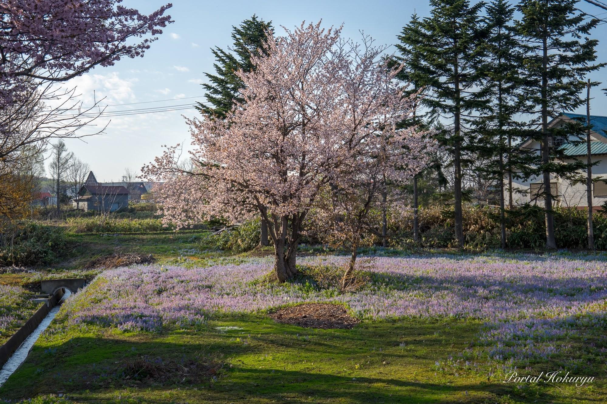 桜とエゾエンゴサクの響宴