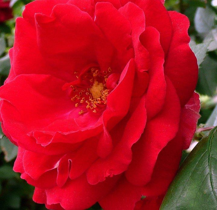 Cuore rosso di turman