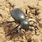 Large Darkling Beetle