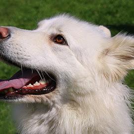 Happy Leila by Chrissie Barrow - Animals - Dogs Portraits ( tongue, german shepherd dog, white, long, teeth, portrait, fluffy, ear, female, pet, fur, dog, nose, eye )