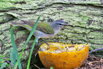 Photo: Tennessee Warbler