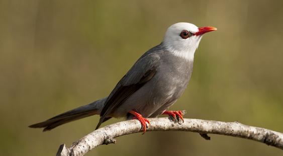 Master Kicauan Burung - náhled