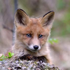 fox cub by Marius Birkeland - Animals Other Mammals ( fox, forest, den, cub, animal,  )