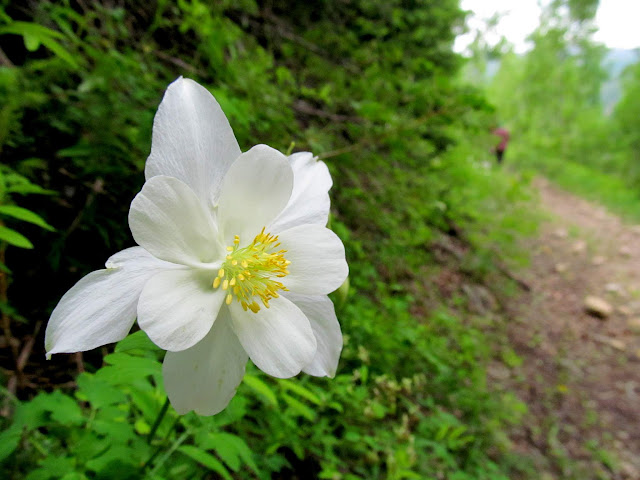 Colorado Columbine along the trail
