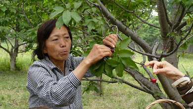Photo: Therese Zhang showed participants how to pick cherries without injuring the twig that it grows from - which takes three years to grow.