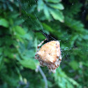 Cat faced Orb Weaver