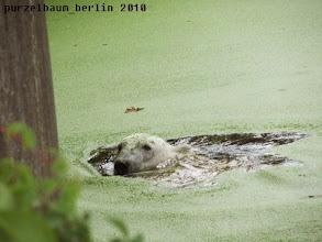 Photo: Knut mit gruenem Kopfschmuck im Wasser ;-)